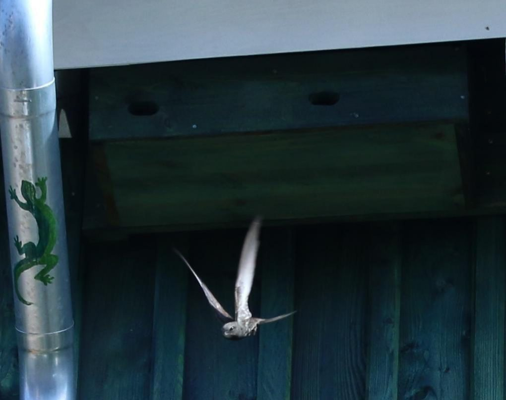 Mauersegler fliegt vom Nest weg