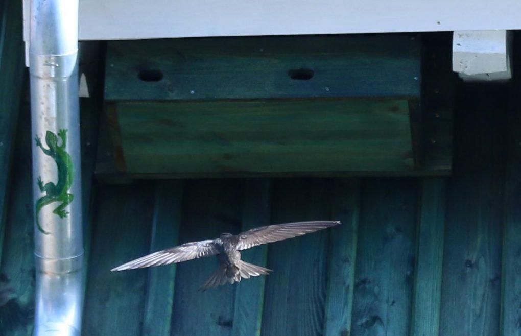 Anflug eines Mauerseglers zum Nest